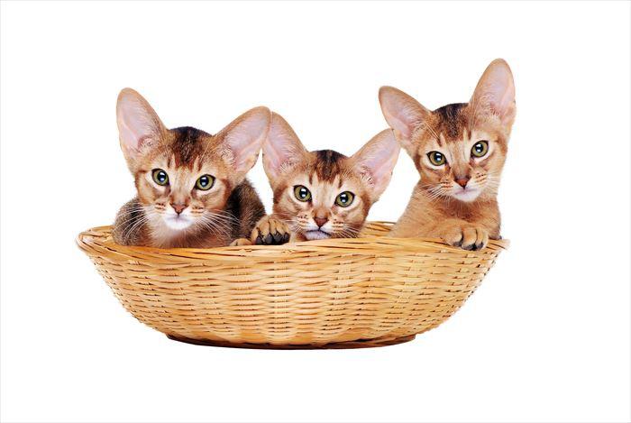 かごに入ったアビシニアン子猫