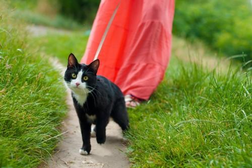 散歩をするハチワレ猫