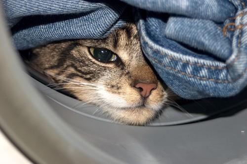デニムの間に挟まる猫