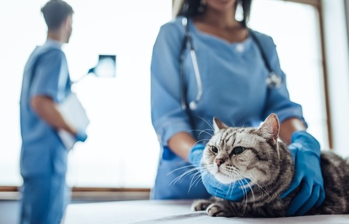 病院で獣医師に診察されている猫