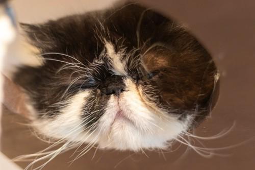 目をつむる猫の顔