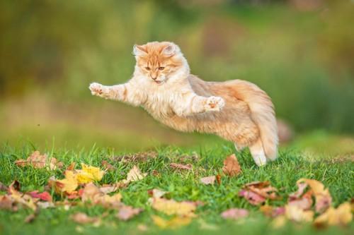 草原で大ジャンプする猫