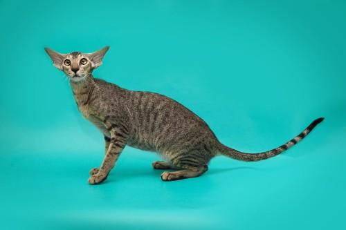 痩せすぎに見えない猫