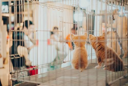 ペットショップのケージの中の子猫たち