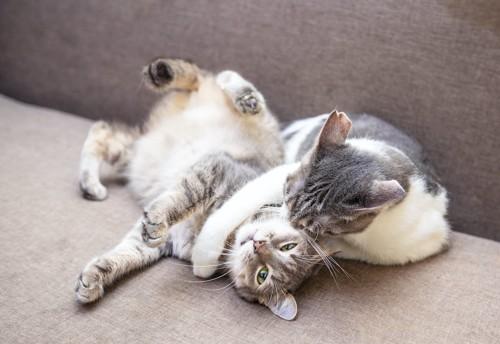 ソファーの上で遊ぶ2匹の猫