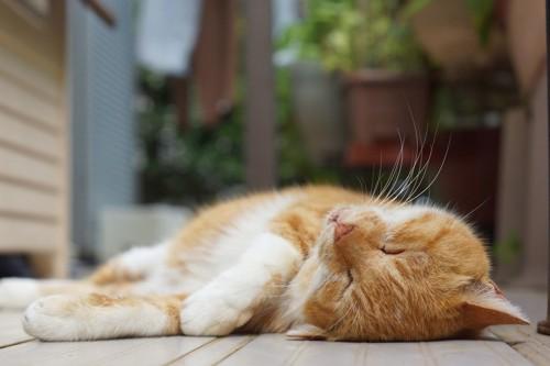 縁側でしっかりと寝る猫
