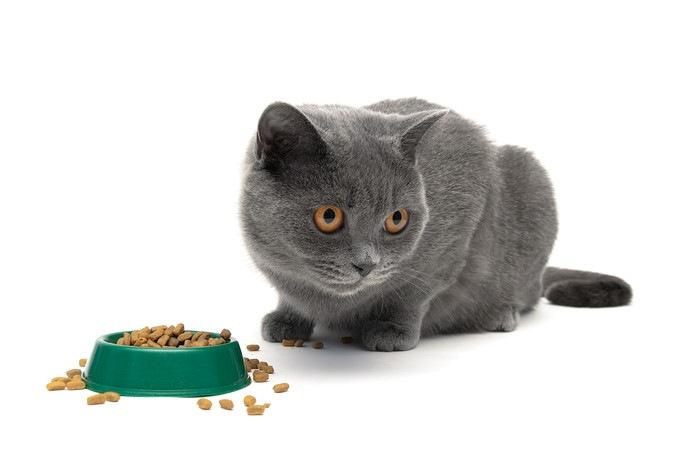 餌の目の前に座るグレーの猫