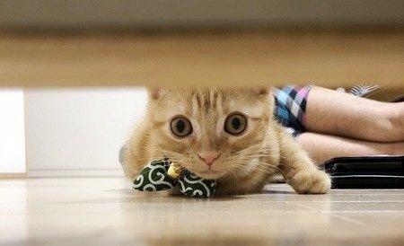 タンスの下を覗き込んで探し物をしているアメリカンショートヘアの猫
