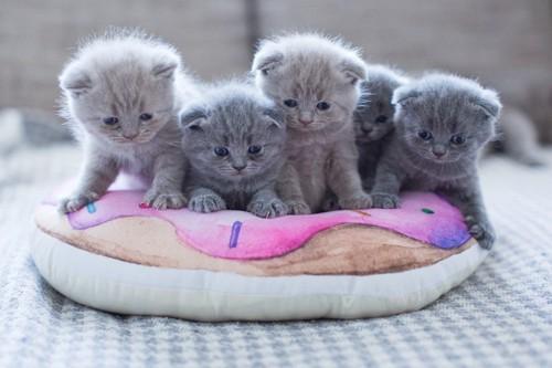 ブリティッシュの子猫たち