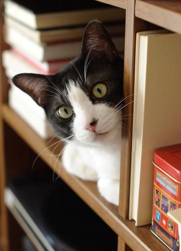 本棚に登りくつろぐ猫