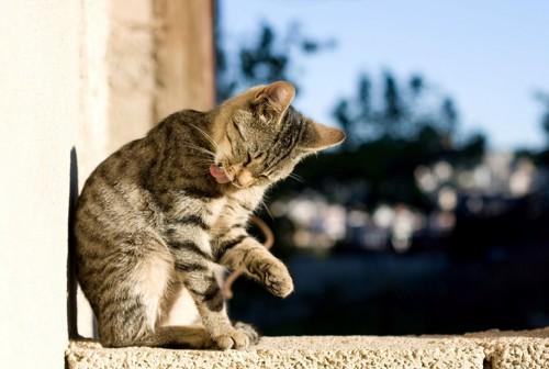 セルフグルーミングする猫