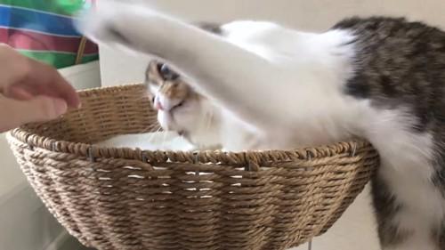 キャットタワーのベッドで飼い主さんにパンチする猫