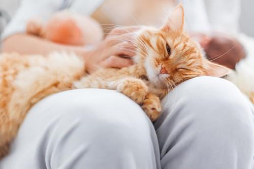 白いズボンの人の膝の上の猫