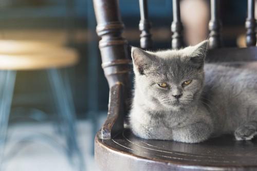 椅子の上にいる苛ついた表情のロシアンブルー