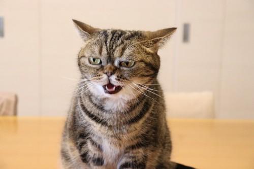 イライラしてイカ耳中の猫