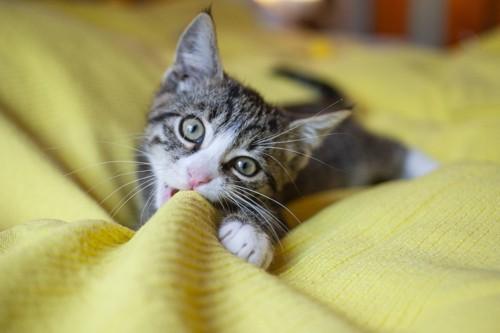 タオルケットを噛む猫