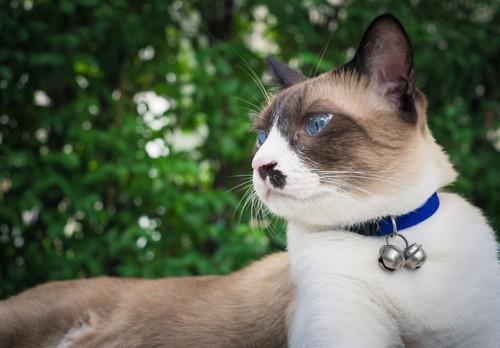 青い首輪のスノーシュー