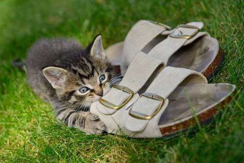芝生の上でサンダルにかじりつく子猫