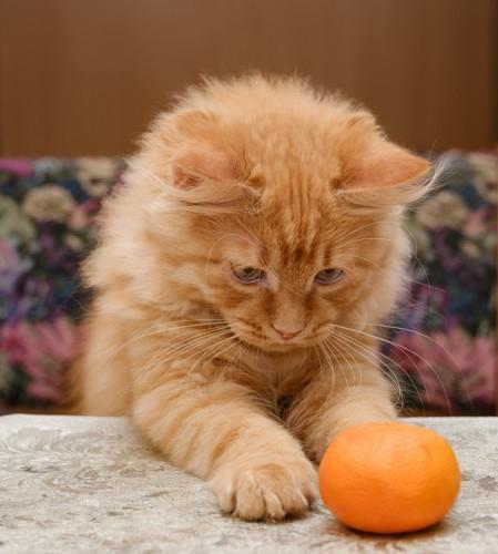 みかんを見つめる猫