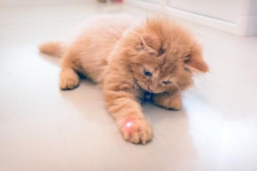 レーザーポインターで遊ぶ猫