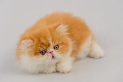 眠そうな表情のエキゾチックロングヘアの子猫