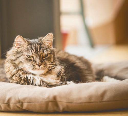 クッションの上で休んでいる老猫