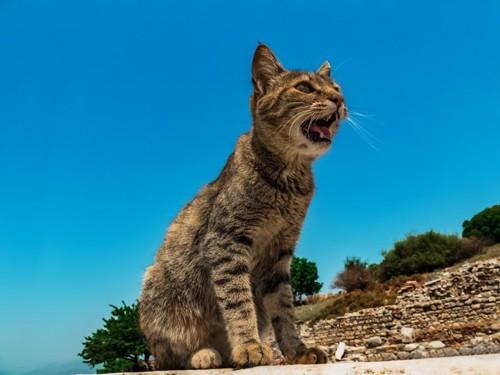 青空のもと鳴く猫