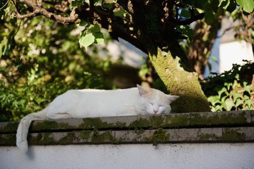 石垣の上で眠っている猫