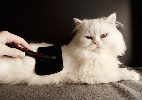ブラッシングされる白い長毛猫