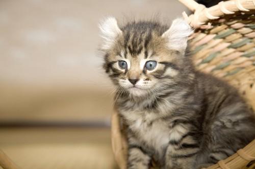 傾いた籠の中に入っているアメリカンカールの子猫