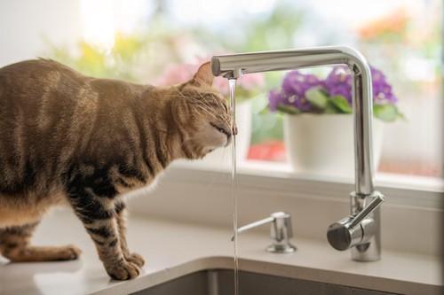 キッチンの蛇口から水を飲む猫