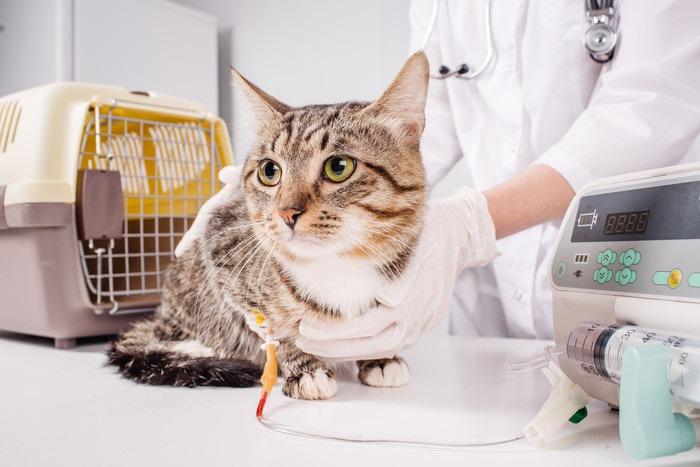 獣医師と点滴している猫