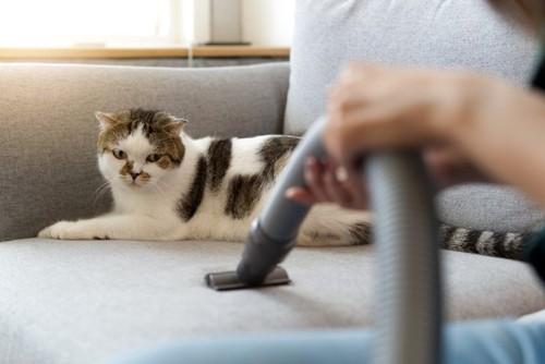 掃除機を見つめるソファの上の猫