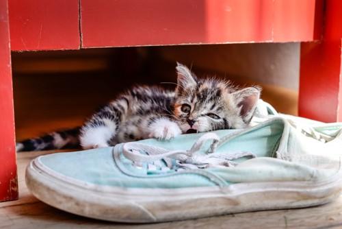 薄青のスニーカーをかじる子猫