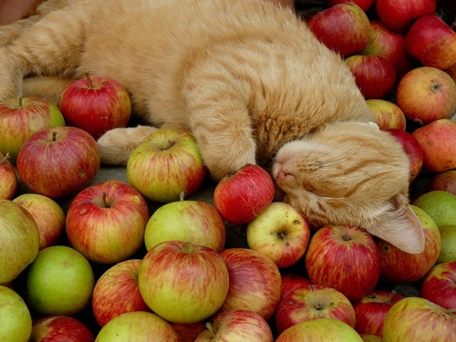 リンゴの上で眠る猫