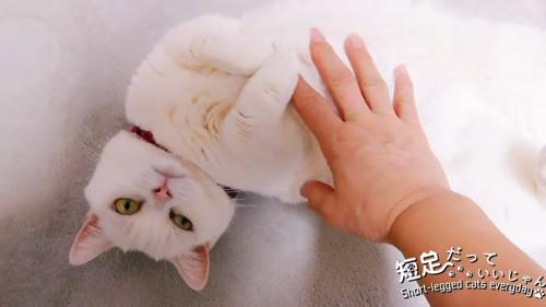 お腹を触られる猫