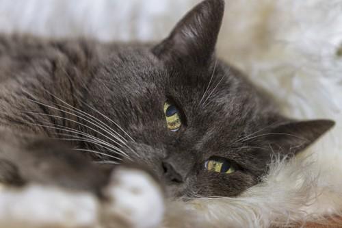 横たわりこちらを見ている猫