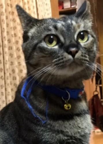 ややイカ耳の猫