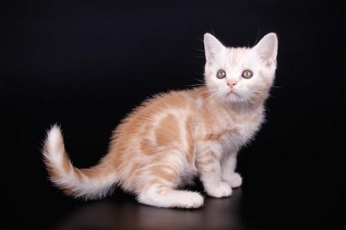 何かを見つめるカメオタビーの子猫