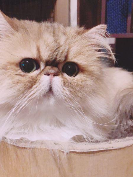 ペルシャ猫のシナモン