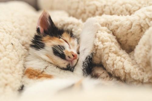 毛布に包まって熟睡している子猫