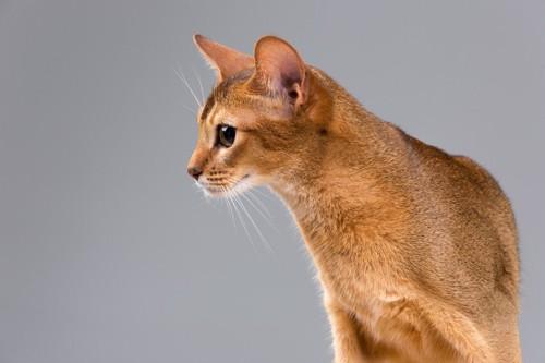 ショートヘアの猫