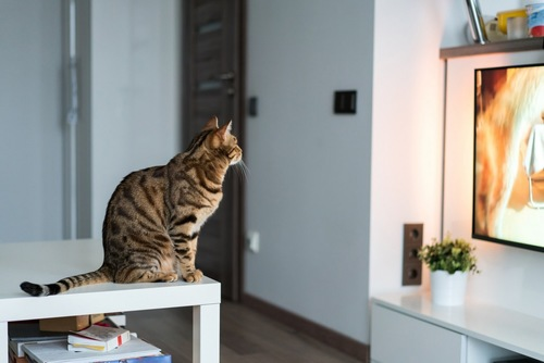 テレビを見つめる猫