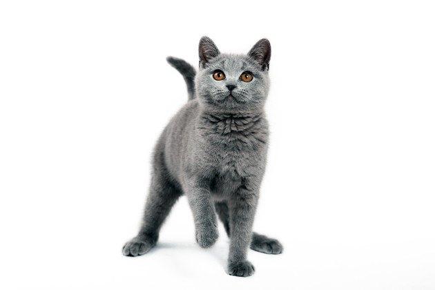 ブリーダーを見ているかもしれない猫