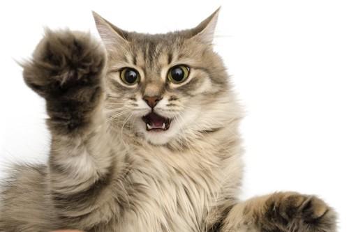 威嚇して猫パンチをしようとする猫