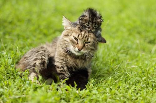 母猫の頭に乗る子猫