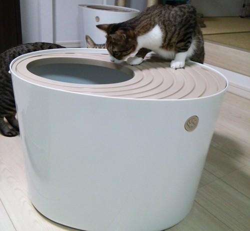 トイレを覗く猫ちゃん2