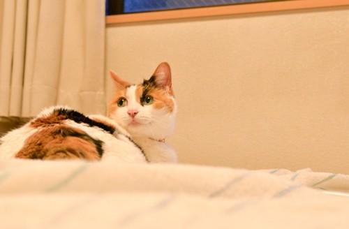 布団の上で振り返る猫
