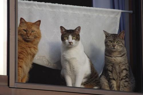 窓の前に座って外を見る三匹の猫