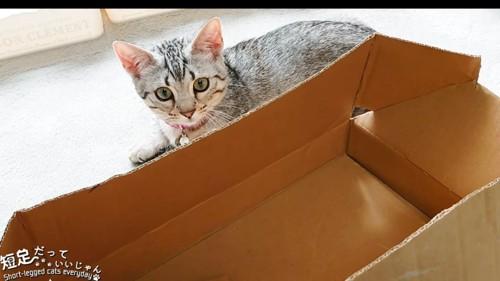箱を見る子猫